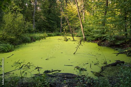 Obraz na plátně Swamp in Kabacki forest, Masovia, Poland