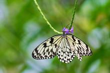 Paper Kite Butterfly, (Idea Le...