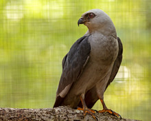 Close Up Of A Mississippi Kite...