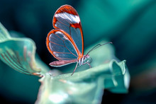 Glasswing Butterfly (Greta Oto...