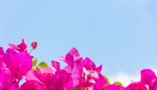 Pink Flowers On Background Of ...