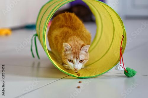 Czerwony pręgowany kot w tunelu. Kot zwabiony do tunelu przysmakami. Zabawa z kotem