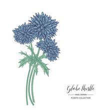 Globe Thistle Flowers Isolated...