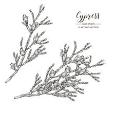 Cypress Branches With Cones Isolated On White Background. Hand Drawn Evergreen Plant. Vector Illustration Engraved. Black And White.