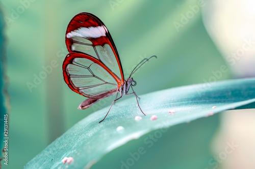 Foto auf Leinwand Schmetterling Glasswing Butterfly (Greta oto) in a summer garden