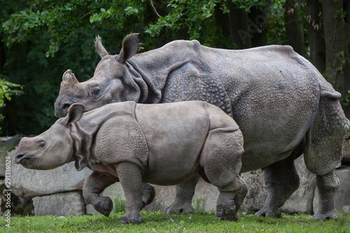 Tuinposter Neushoorn Indian rhinoceros (Rhinoceros unicornis).