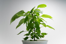 Bell Pepper Plant With Thick Foliage In A White Pot Against White Background