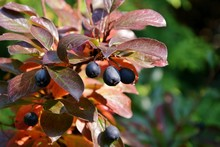 Cotoneaster With Berries In Th...