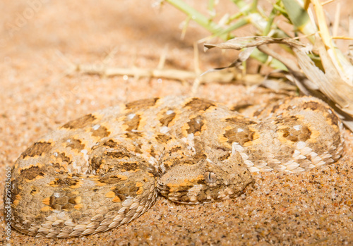horned adder Canvas Print