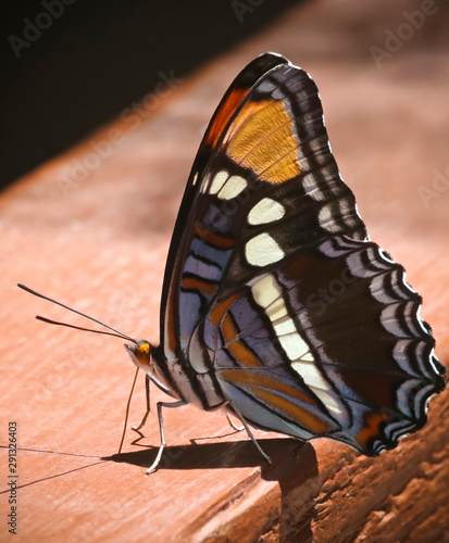 An Arizona Sister Butterfly, Adelpha eulalia, in Ramsey Canyon, AZ, USA Wallpaper Mural