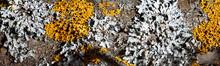 Lichens, Parmelia And Xanthori...