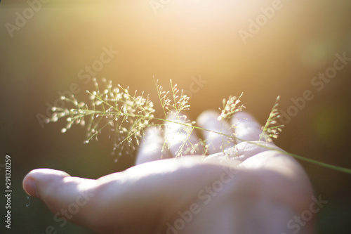 Hand holding Beautiful grass flowers with natural sunlight Canvas Print
