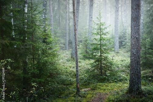 Fototapeta Dark forest scene. Morning fog and sunlight through the trees. Pine and spruce close-up. Kemeri, Latvia obraz