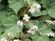 Begonia Grandis 'Alba' - Begon...