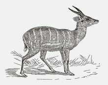 Male Harnessed Bushbuck Or Kéwel Tragelaphus Scriptus In Side View. Illustration After An Engraving From The 19th Century
