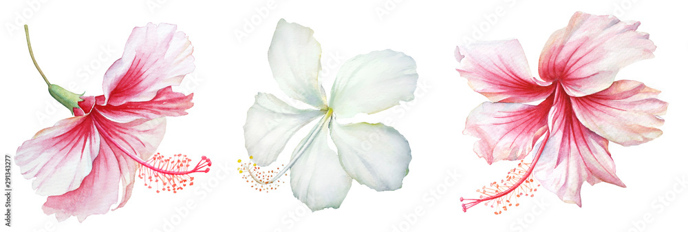 Fototapety, obrazy: Group of white and pink hibiscus flowers