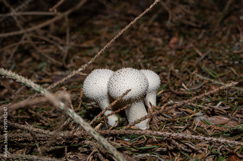 Photo Lycoperdon perlatum, popularly known as the common puffball, warted puffball, gem-studded puffball, or the devil's snuff-box, is a species of puffball fungus in the family Agaricaceae