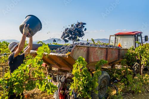 Obraz Grape harvest - fototapety do salonu