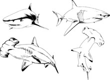 Great White Shark Drawn In Ink...