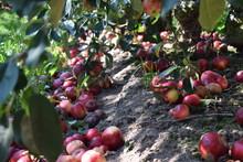 Montón De Manzanas Caídas En...