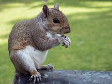 Grey Squirrel In A London Park...