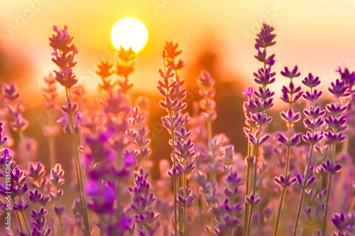 Lavender Flowers at the Plantation Field at the Sunset, Lavandula Angustifolia Canvas Print