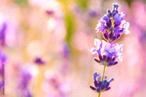 Lavender Flowers at the Plantation Field at the Sunset, Lavandula Angustifolia