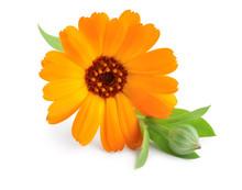 Calendula. Marigold Flower Iso...