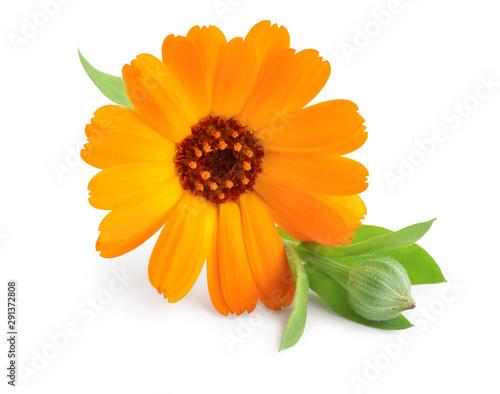 Fotomural  Calendula. Marigold flower isolated on white background