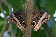Butterfly 2019-119 / Two Blue Morpho Butterfly  (Morpho Peleides)
