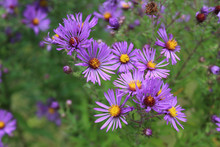New England Aster At Somme Prairie Nature Preserve In Northbrook, Illinois