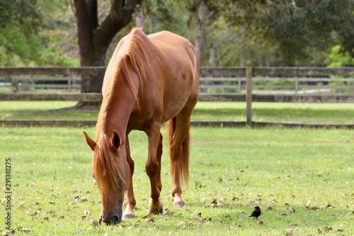 Chestnut Paso Fino Horse Grazing with Cowbird