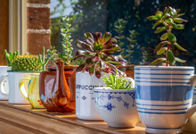 House Plants Grown In Recycled Mugs, Tea Cups, Sugar Bowl And Tea Pot Displayed In Sunny Window, Recycle, Reuse, Up Cycle For Sustainable Living And Gardening.