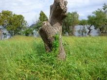 Flowery Vines On A Tree Stump