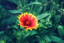 Beautiful Fairy Dreamy Magic Yellow Red Gaillardia Pulchella, Firewheel, Indian Blanketflower Or Sundance Flower On Faded Blurry Green Background. Dark Art Moody Floral.