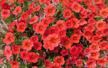 Red Flowers In Garden, Million...