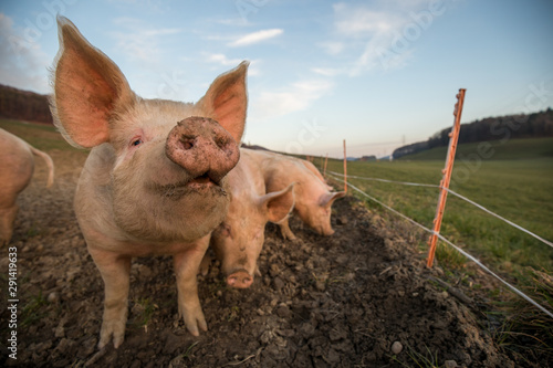 Cuadros en Lienzo  Pigs eating on a meadow in an organic meat farm - wide angle lens shot