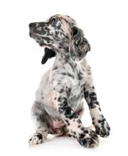 Puppy English Setter