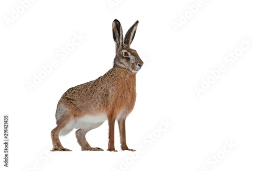 Side view of european brown hare, lepus europaeus, isolated on white background. Cut out single wild animal looking aside with copy space.