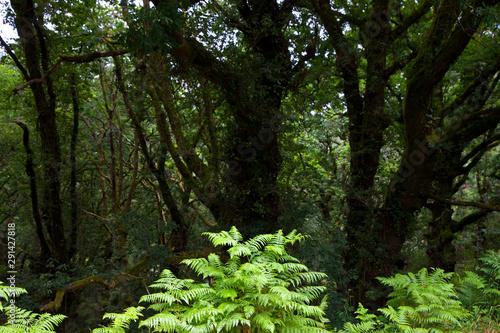 Fotografia Helechos y Bosque de Robles, Sabucedo, Pontevedra, Galicia