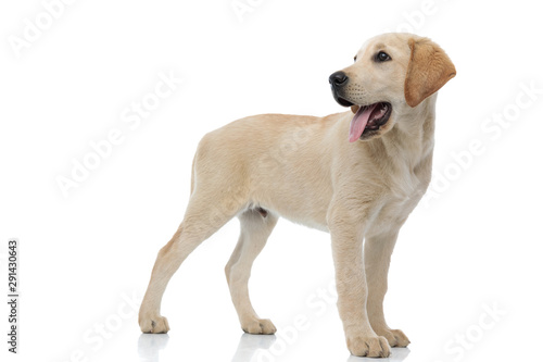 Fotografía happy labrador retriever puppy looks back over its shoulder