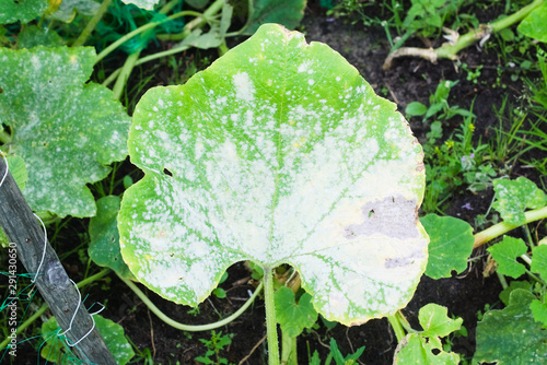 Fotografie, Obraz Powdery mildew on a leaf of pumpkin. Garden plant diseases