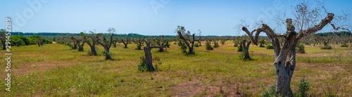 Tuinposter Olijfboom Infested olive trees (bacterium Xylella Fastidiosa), Salento, South Italy