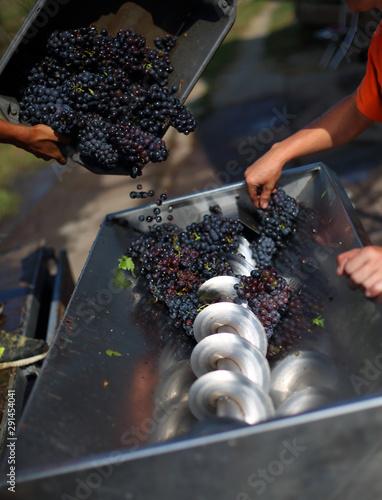 Photo Pouring grape in grape squezzing machine