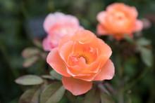 (神奈川県ー自然風景)イングリッシュローズ庭園に咲くバラ2