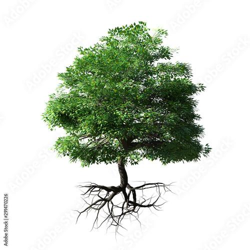 Fototapeta tree with roots isolated on white background obraz na płótnie