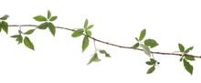 Wild Blackberry Twig, Branch W...