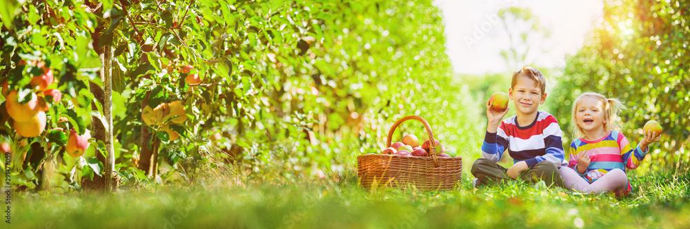 Fototapeta harvest panorama - happy children collecting apples in the garden