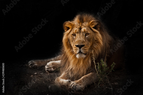 Poster de jardin Lion beast is a powerful maned male lion. Impressively lies and rests at night, black background, consecrated by light.