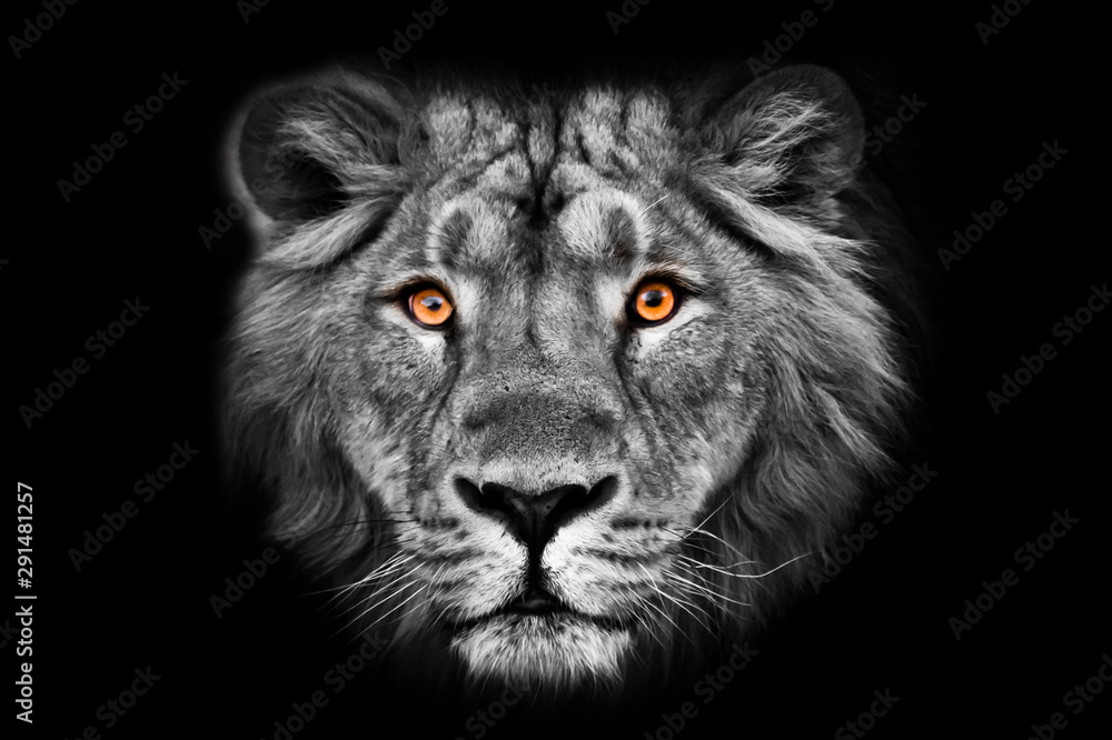 Fototapeta Muzzle powerful male lion with a beautiful mane close-up.